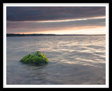Sten med tang i Limfjorden på Mors