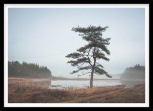 Fyrtræ i dis i Nationalpark Thy