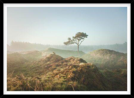 Fyrtræ i morgendis i Nationalpark Thy